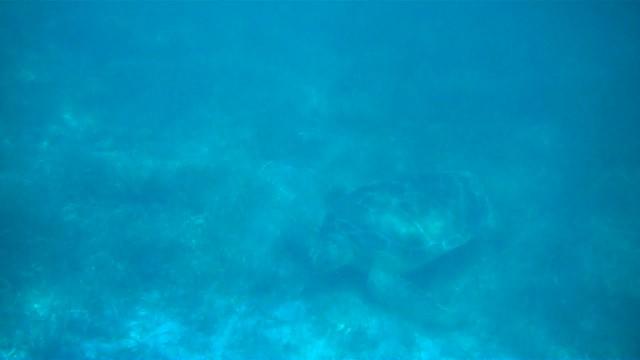 Sea Turtle, Akumal, Mexico